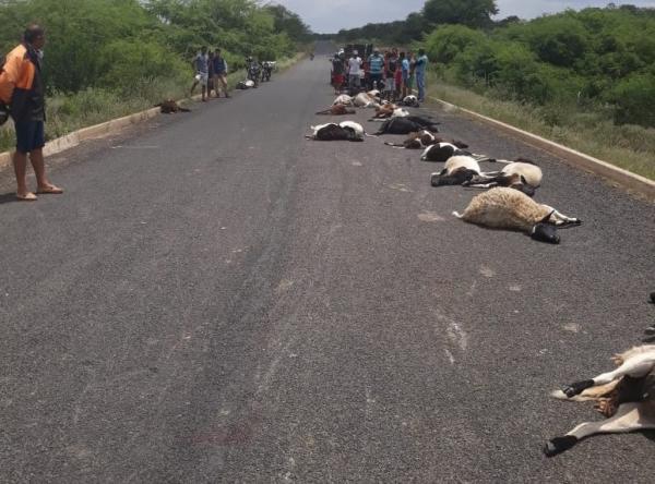 Piauí | Veículo em alta velocidade atropela e mata 29 ovelhas na PI-456