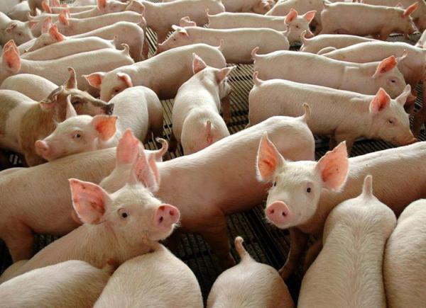 ADAPI confirma segundo foco de peste suína no município de Lagoa do Piauí