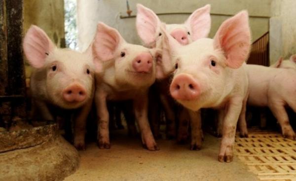 Quatro novos focos de peste suína são confirmados no Piauí